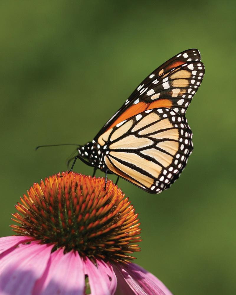 Pollinators - butterfly