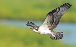 RVA Osprey Cam Image