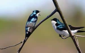 Tree_Swallows Uhlman Image