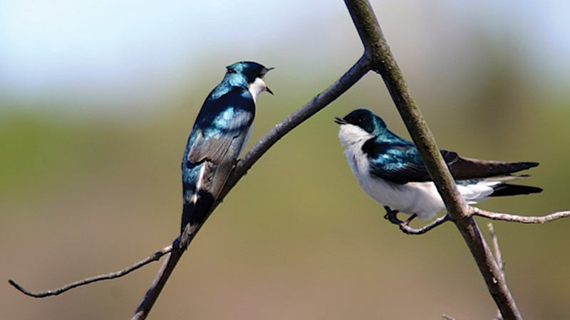 Tree_Swallows Uhlman