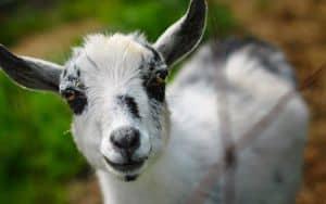 Baby_Goat Image