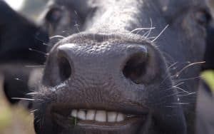 Happy_Cow Image