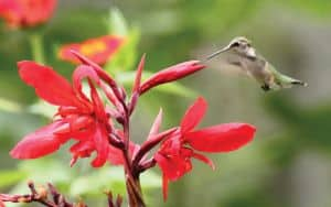 Ruby_Throated hummingbird Image