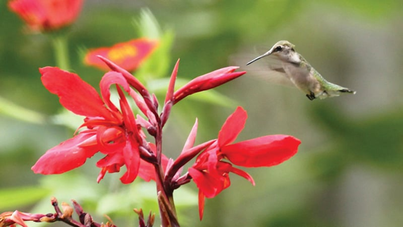 Ruby_Throated hummingbird Image
