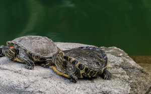 Maymont_Turtles Image