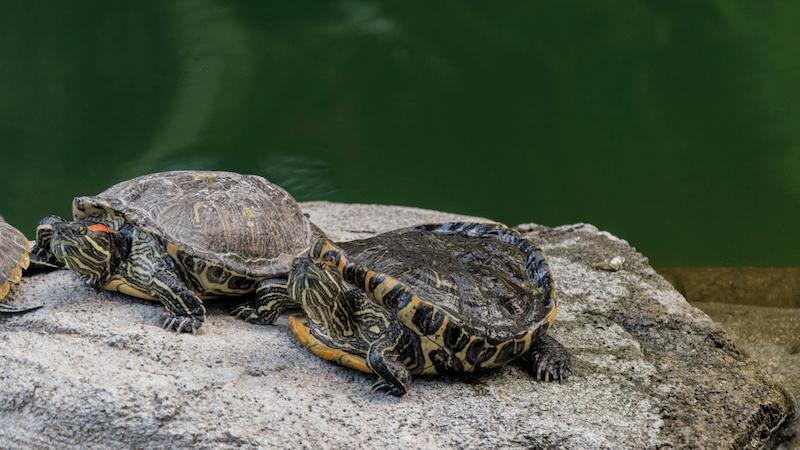 Maymont_Turtles Image
