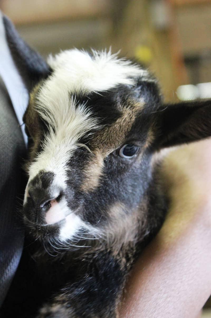 baby-goat-cam Maymont
