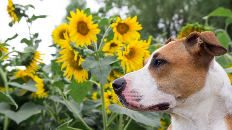 Sunflowers Lickinghole Creek Image
