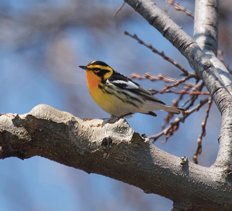 A Blackburnian warbler (in its spring breeding plumage), which mingles with exotic Central and South American birds in its wintering grounds.
