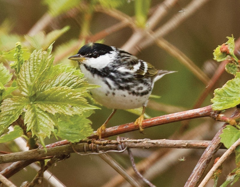 A Blackpoll warbler (in its spring breeding plumage), whose flight to its wintering grounds is the longest of any warbler species