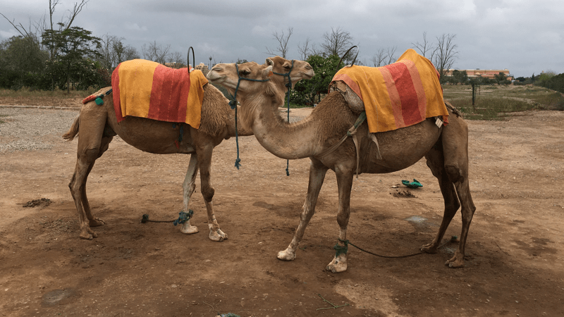 Morrocan_Camels Image