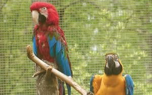 Scarlet Macaw at Project Perry Sanctuary Image