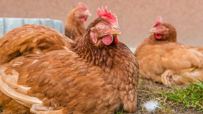 Chicken Coop Randy Fitzgerald Image