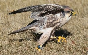 Falconry Image