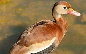 Black-bellied whistling duck Image