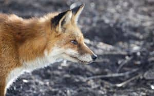 Profile of red fox close up Image