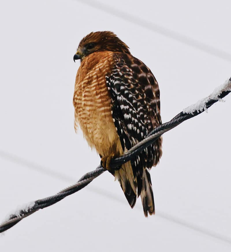 Red shouldered hawk | Photographs by Jerry Uhlman