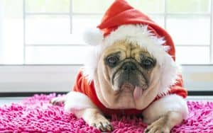 A Pug dressed in Santa clothes Image