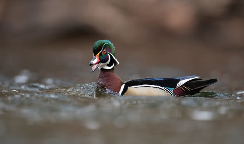 Wood duck, but not a wooden duck
