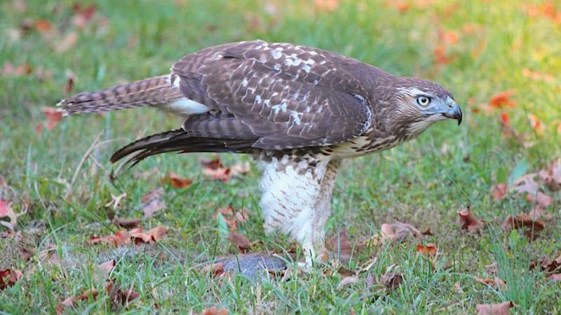 Red shouldered hawk standing on top of prey Image