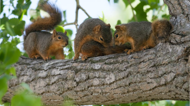 Three squirrels in a tree Image
