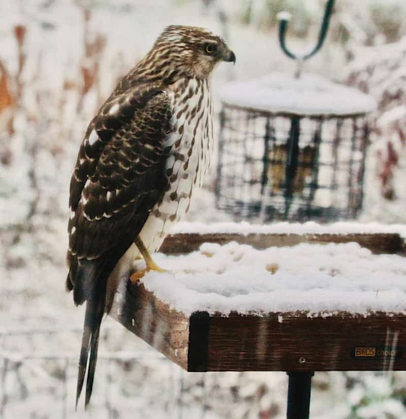 Sharp Shinned Hawk sitting in the snow