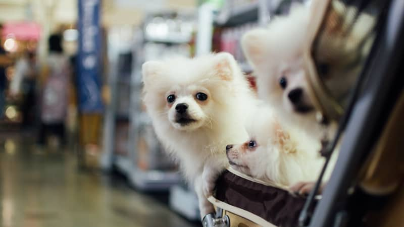 Three little white dogs in a stroller at a pet expo Image