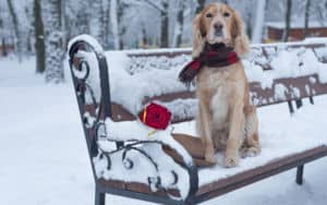 Dog on a snowy bench with a rose on Valentine's Day Image