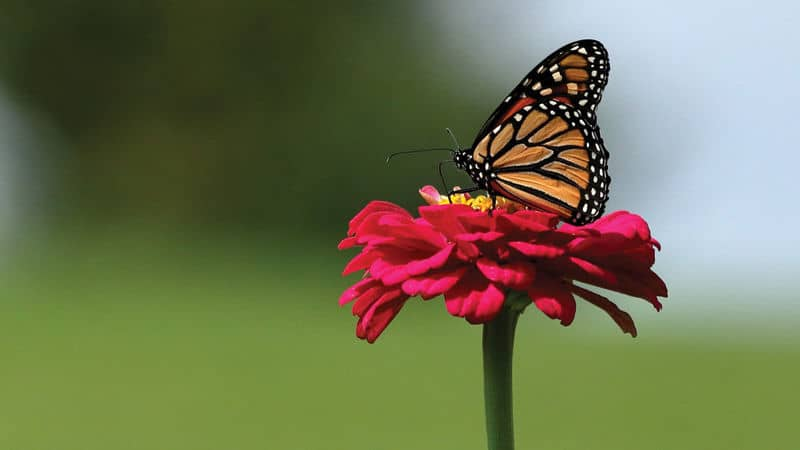 This Monarch Butterfly is a native species Image