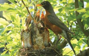 A robin feeds her babies some worms in her nests Image