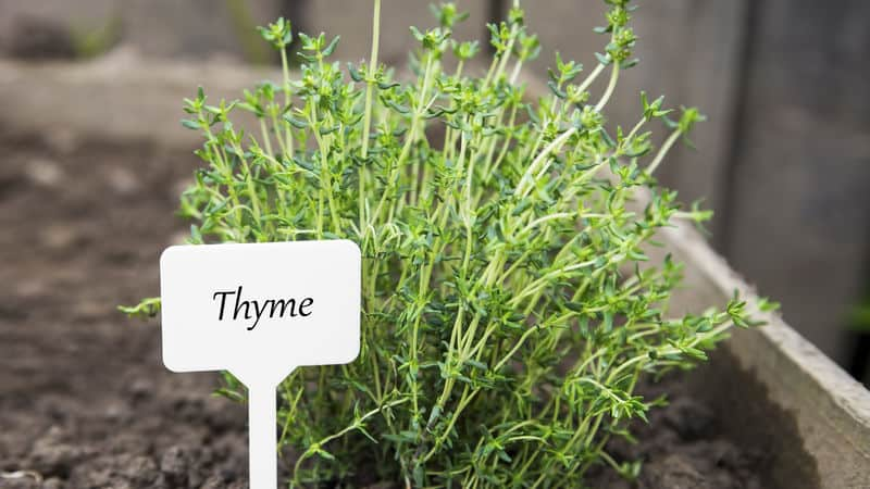 Thyme from Maymont's herb sale Image