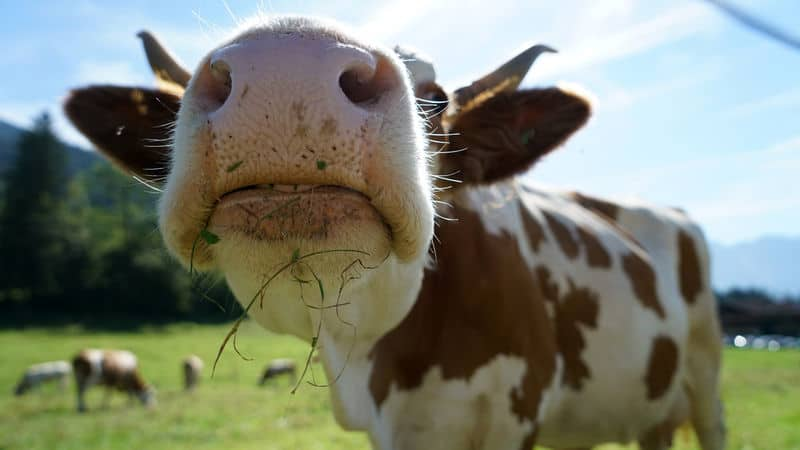 Vegetarian Cow Image