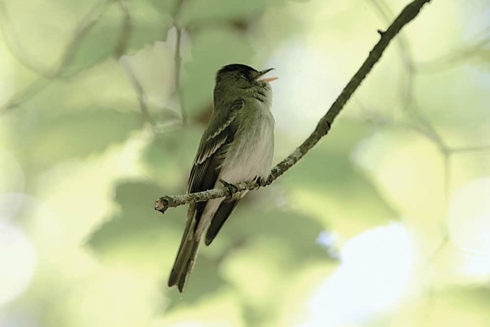 Acadian Flycatcher is another one of the songbirds