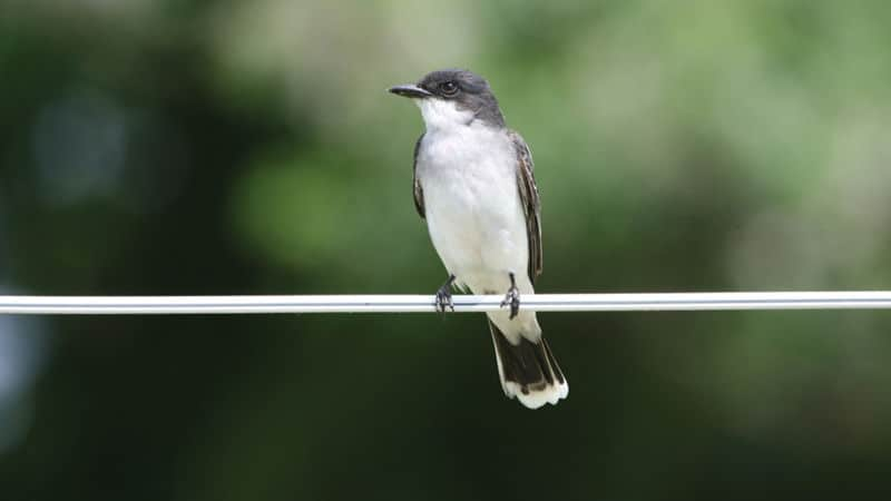 Eastern Kingbird, one of the songbirds Image