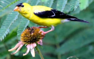 American goldfinch on a flower Image
