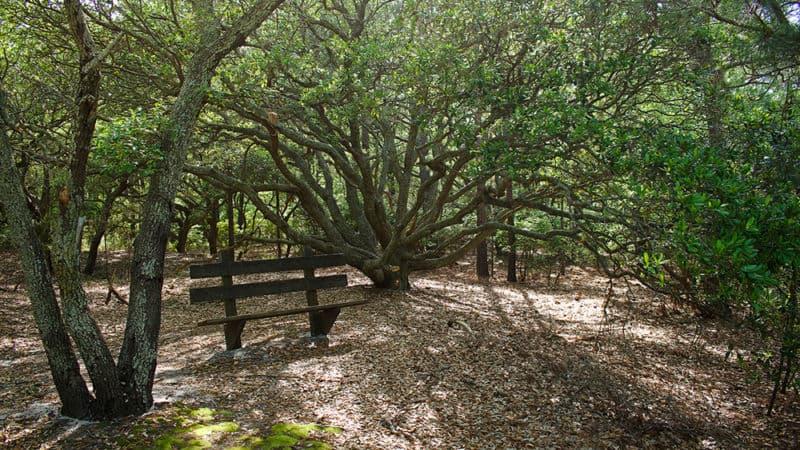 Maritime Forest Trail on the Currituck Banks Estuarine Reserve