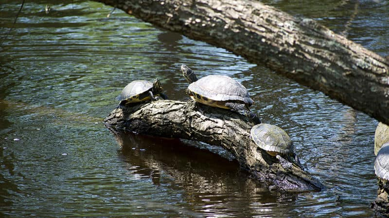 Yellow Slider turtles on a log