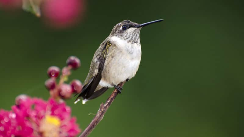 Ruby throated hummingbird watching Tunes on the Tracks Image