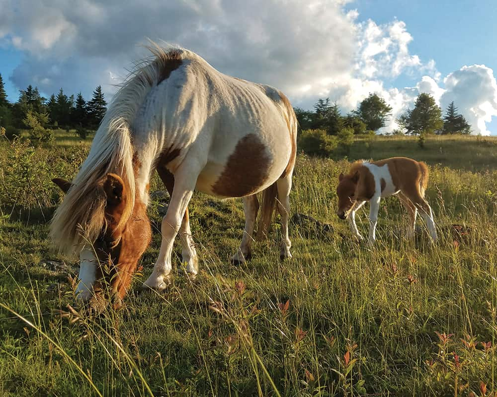 Grayson Highlands Ponies in Abingdon
