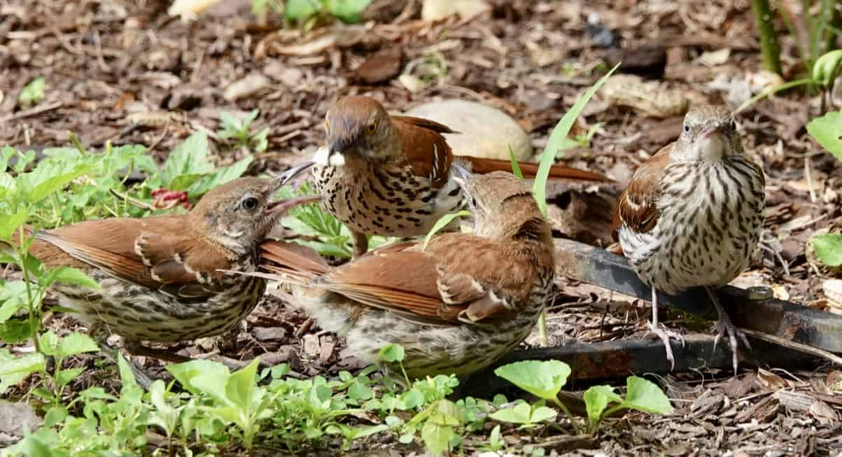 Brown thrasher family carries on, while humans are birding in a pandemic