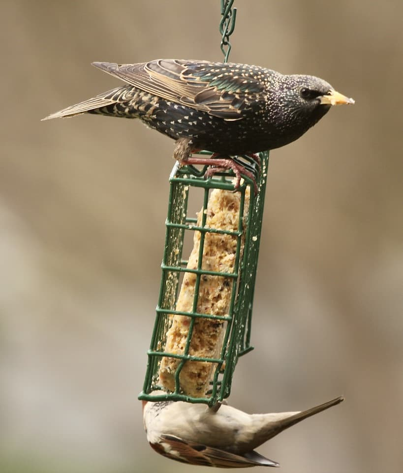Starling and chickadee on a suet feeder