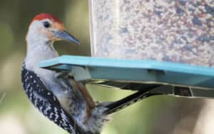 red-bellied woodpecker Image