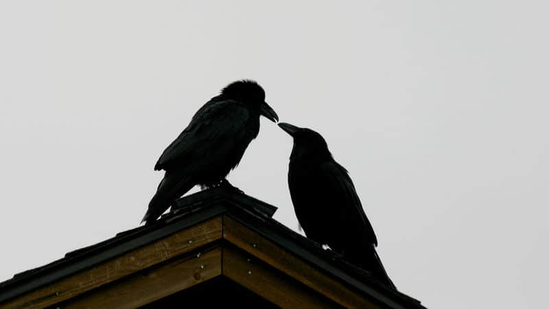 Birds practicing witchcraft Image