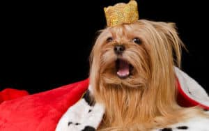 Dog with fur and a crown Image