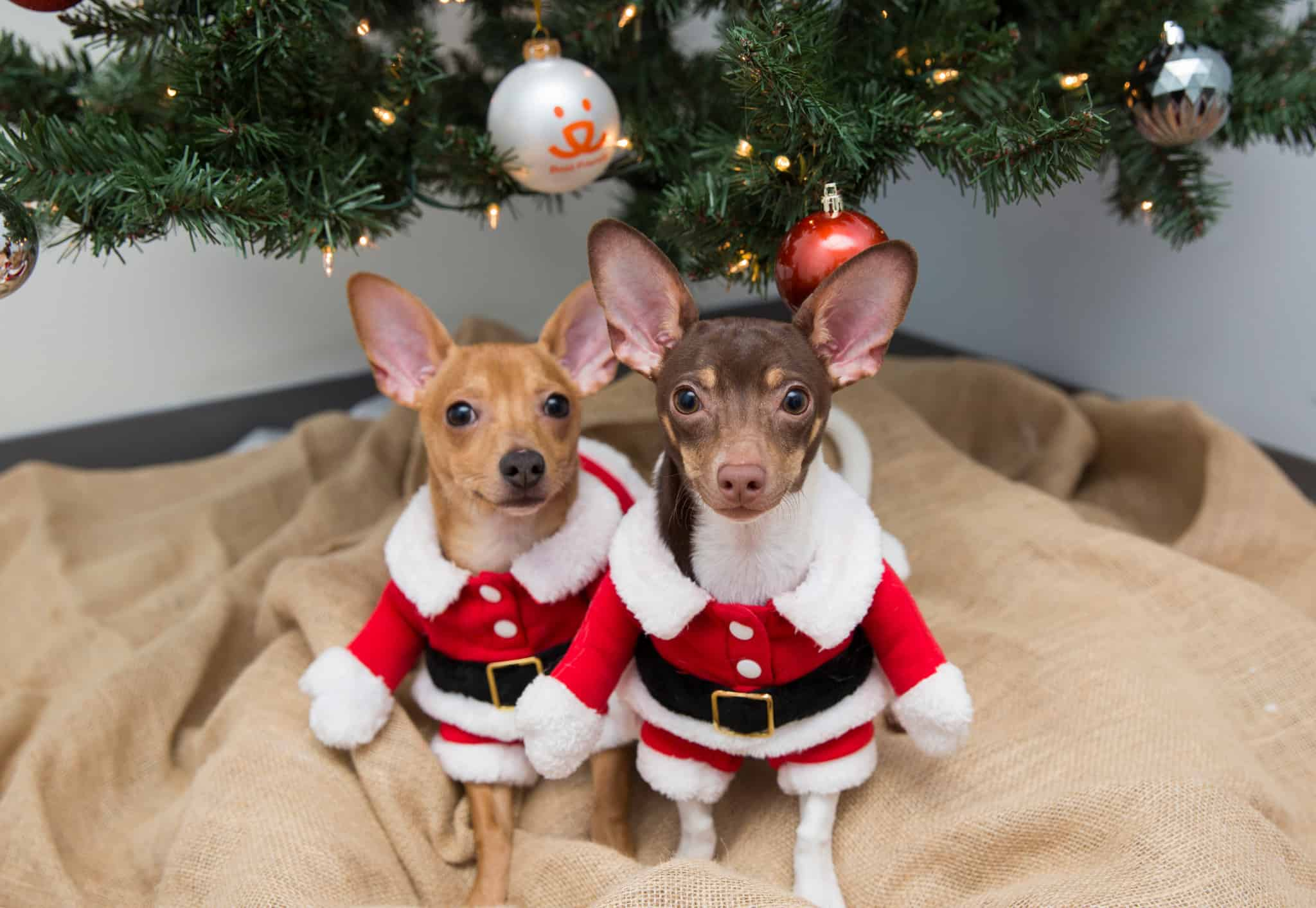 Two dogs under Christmas tree with Santa costumes
