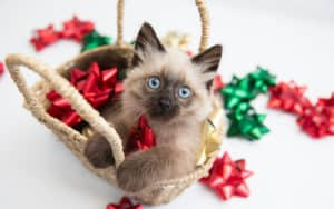 Holiday pet safety tips - Siamese cat in a basket of Christmas bows Image