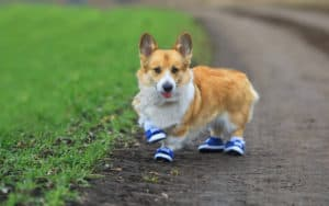A Corgi with little shoes named Susan Greenbaums Image