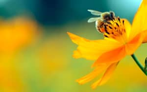 Honey bee on a flower watching Fires in the Mirror Image