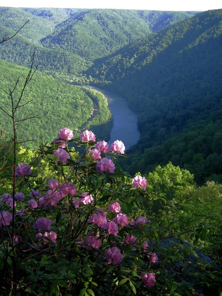 New River and Rhododendron from Turkey Spur