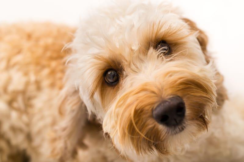 Sad labradoodle dog